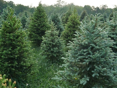 Christmas Tree Types 1573055166
