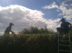 Commercial Hedge Trimming