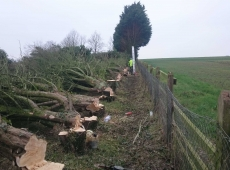 Conifer Row Removal After