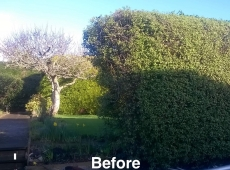 Hedge Removal Clearance Before