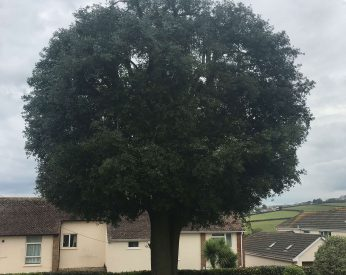 Holm Oak After Small